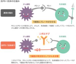 抗PD-1抗体の仕組み